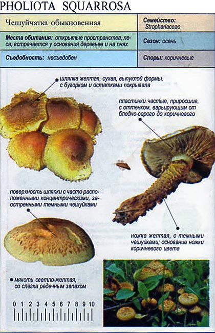 Чешуйчатка обыкновенная / Pholiota squarrosa