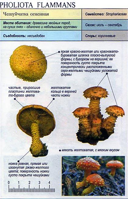 Чешуйчатка огненная / Pholiota flammans