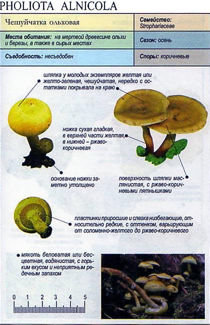 Чешуйчатка ольховая / Pholiota alnicola