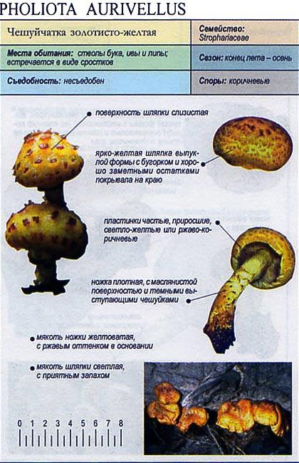 Чешуйчатка золотисто-желтая / Pholiota aurivellus