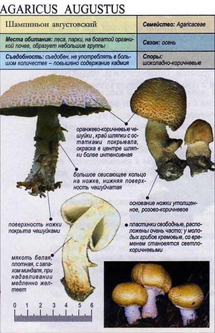Шампиньон августовский / Agaricus augustus