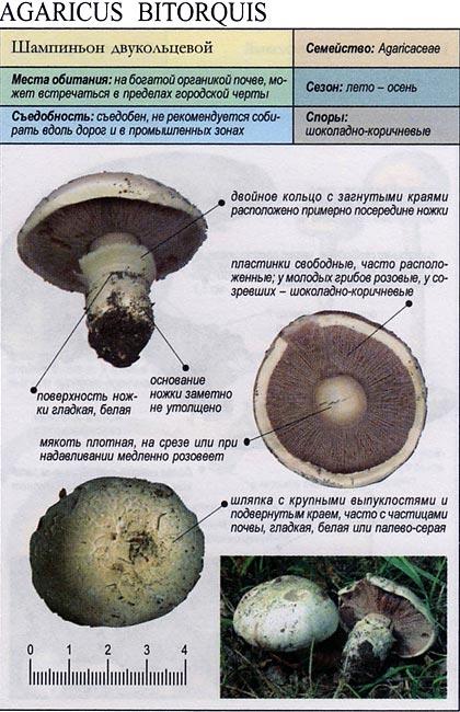Шампиньон двукольцевой / Agaricus bitorquis