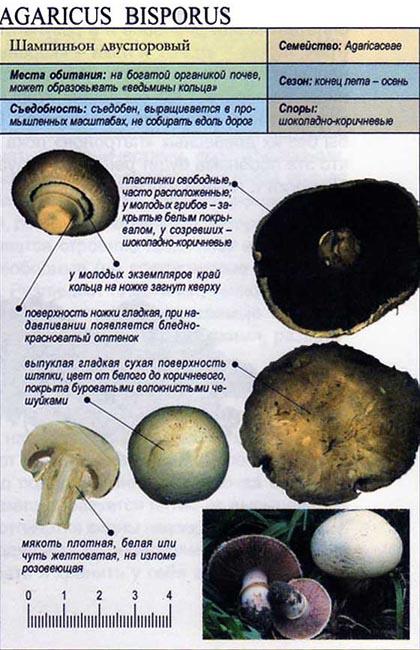 Шампиньон двуспоровый / Agaricus bisporus