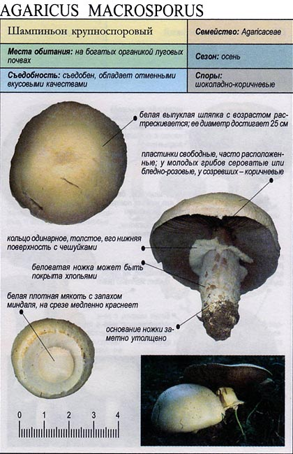 Шампиньон крупноспоровый / Agaricus macrosporus
