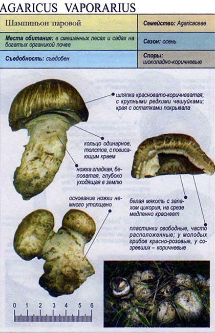 Шампиньон паровой / Agaricus vaporarius