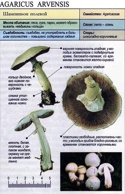 Шампиньон полевой / Agaricus arvensis