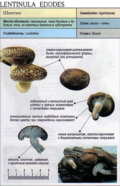 Шиитаке / Lentinula edodes