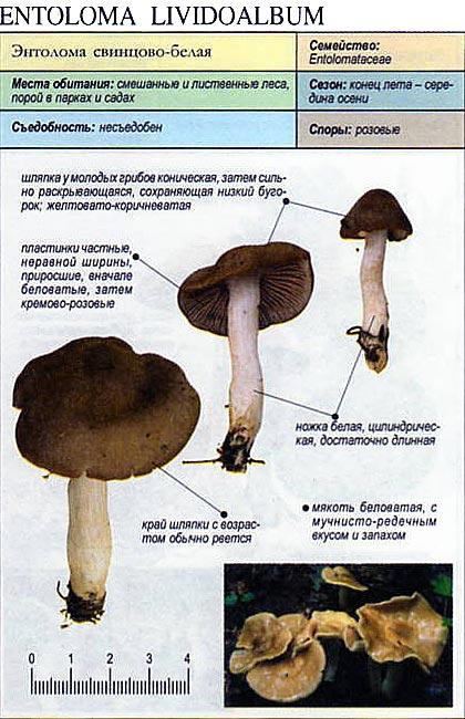 Энтолома свинцово-белая / Entoloma lividoalbum