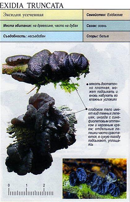 Эксидия усеченная / Exidia truncata