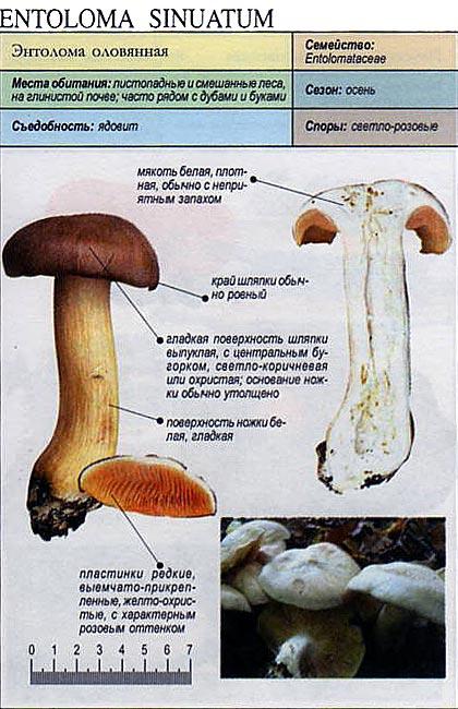 Энтолома оловянная / Entoloma sinuatum