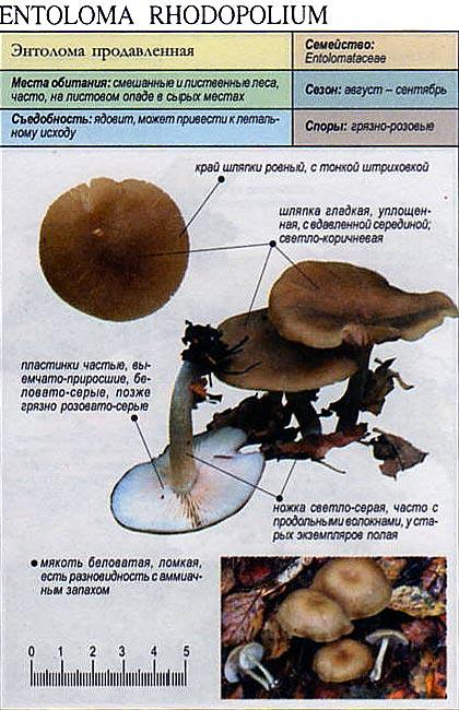Энтолома продавленная / Entoloma rhodopolium