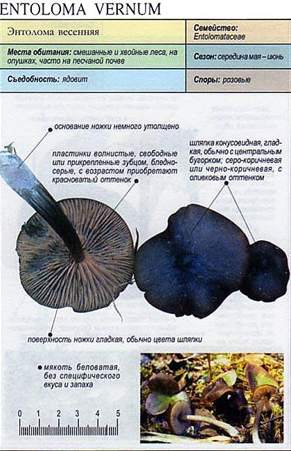 Энтолома весенняя / Entoloma vernum