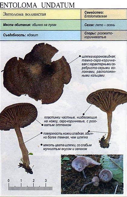 Энтолома волнистая / Entoloma undatum