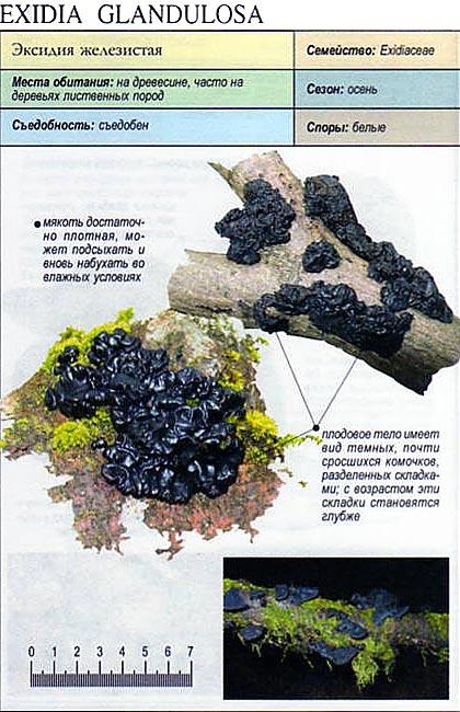 Эксидия железистая / Exidia glandulosa